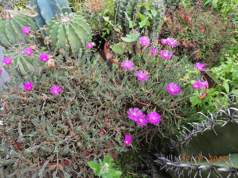 Cacti and Sukkulent in Köln, every day new flowers in the greenhouse Part 159 Bild_336