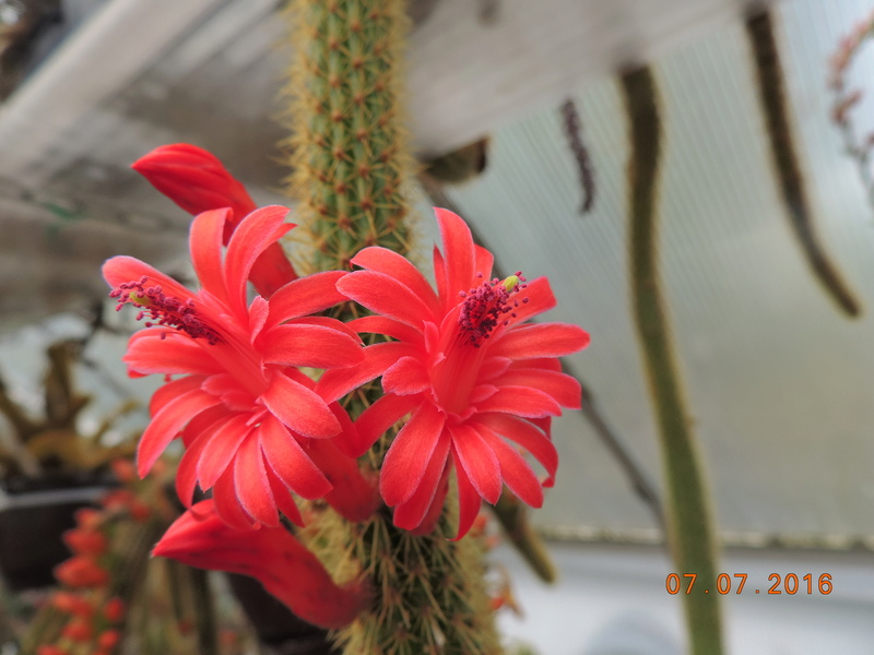 Cacti and Sukkulent in Köln, every day new flowers in the greenhouse Part 159 Bild_353