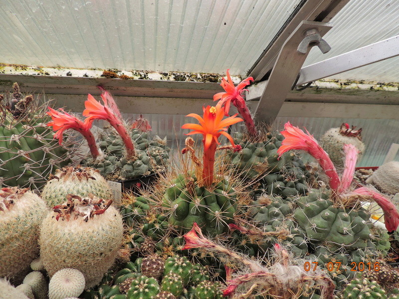 Cacti and Sukkulent in Köln, every day new flowers in the greenhouse Part 159 Bild_358