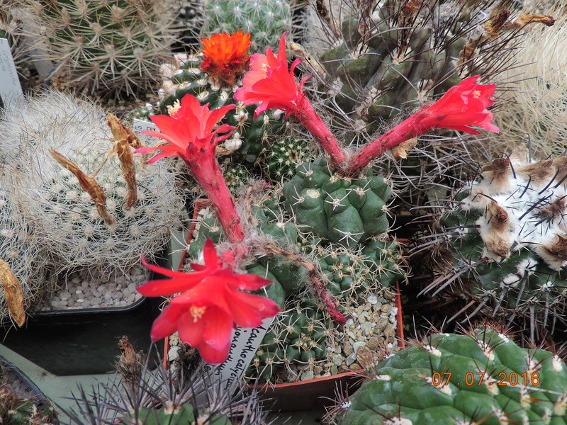 Cacti and Sukkulent in Köln, every day new flowers in the greenhouse Part 159 Bild_359