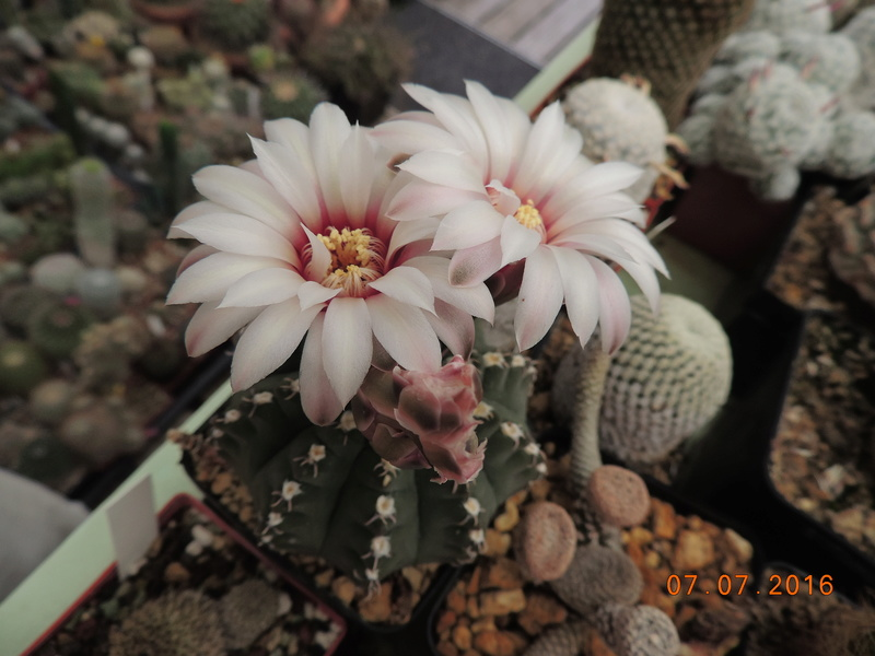 Cacti and Sukkulent in Köln, every day new flowers in the greenhouse Part 160 Bild_371