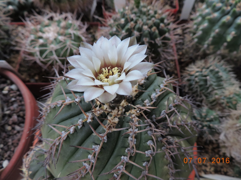 Cacti and Sukkulent in Köln, every day new flowers in the greenhouse Part 160 Bild_374