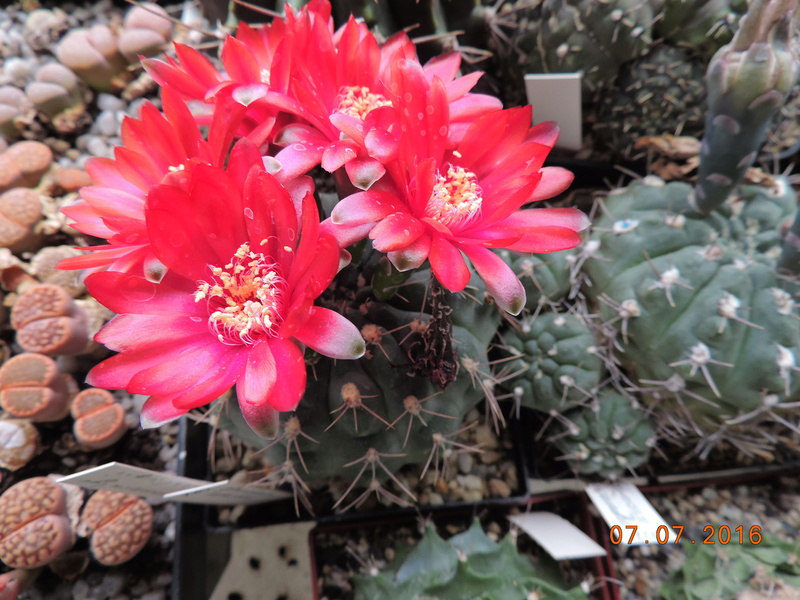 Cacti and Sukkulent in Köln, every day new flowers in the greenhouse Part 160 Bild_375