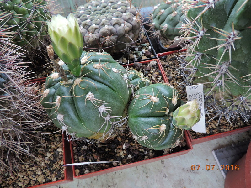 Cacti and Sukkulent in Köln, every day new flowers in the greenhouse Part 160 Bild_379