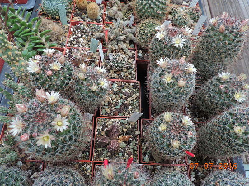 Cacti and Sukkulent in Köln, every day new flowers in the greenhouse Part 160 Bild_380