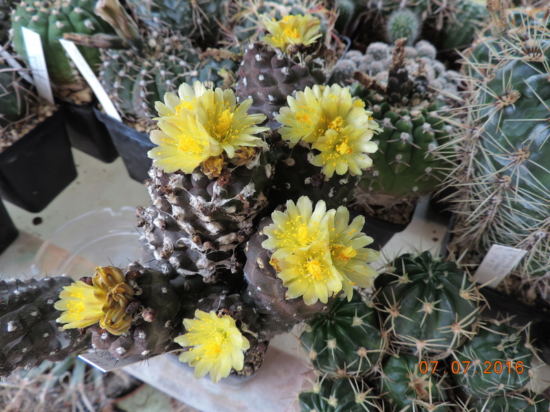 Cacti and Sukkulent in Köln, every day new flowers in the greenhouse Part 160 Bild_381