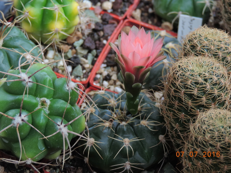 Cacti and Sukkulent in Köln, every day new flowers in the greenhouse Part 160 Bild_383
