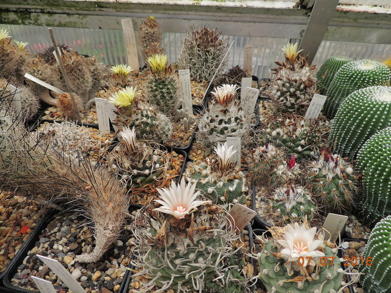 Cacti and Sukkulent in Köln, every day new flowers in the greenhouse Part 160 Bild_386