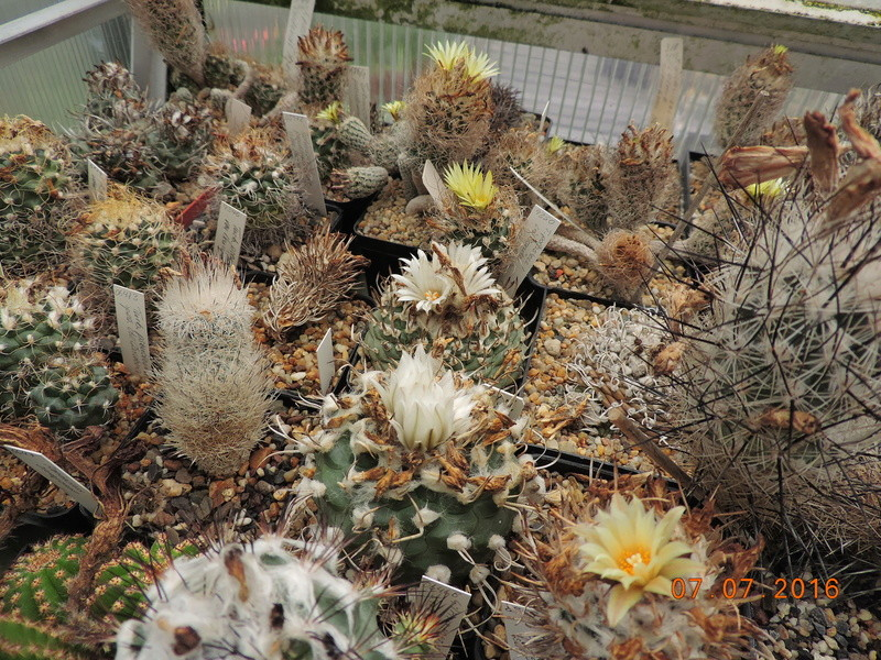 Cacti and Sukkulent in Köln, every day new flowers in the greenhouse Part 160 Bild_388