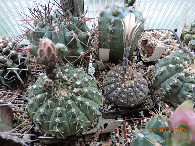 Cacti and Sukkulent in Köln, every day new flowers in the greenhouse Part 160 Bild_389