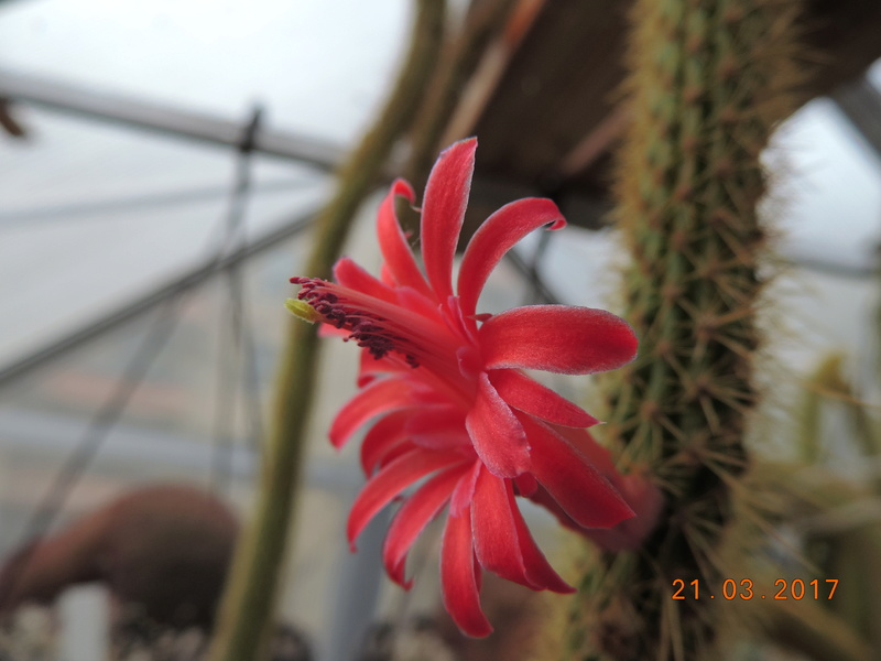 Cacti and Sukkulent in Köln, every day new flowers in the greenhouse Part 160 Bild_392