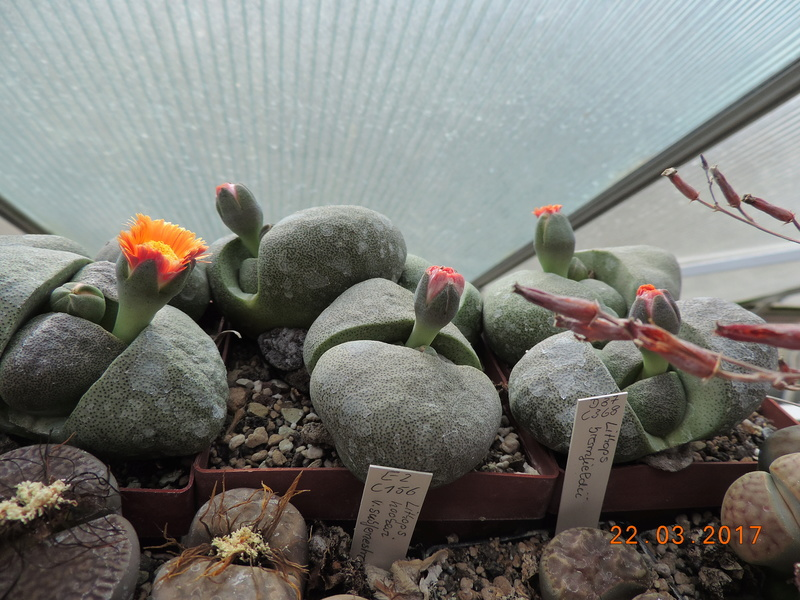 Cacti and Sukkulent in Köln, every day new flowers in the greenhouse Part 160 Bild_399