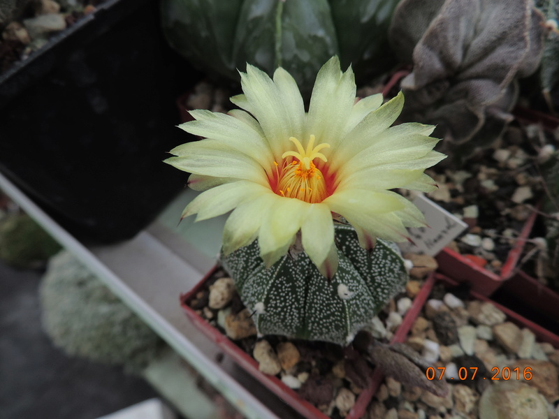 Cacti and Sukkulent in Köln, every day new flowers in the greenhouse Part 160 Bild_409