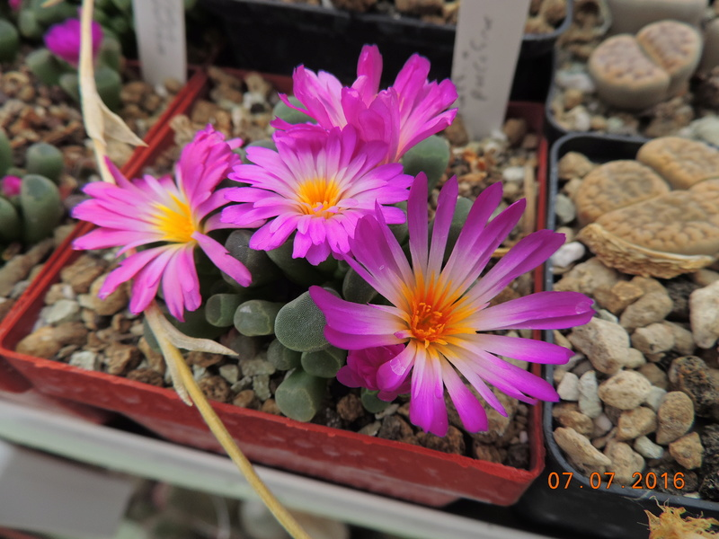 Cacti and Sukkulent in Köln, every day new flowers in the greenhouse Part 160 Bild_410