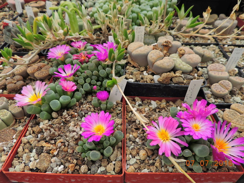 Cacti and Sukkulent in Köln, every day new flowers in the greenhouse Part 160 Bild_411