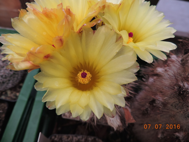 Cacti and Sukkulent in Köln, every day new flowers in the greenhouse Part 160 Bild_423