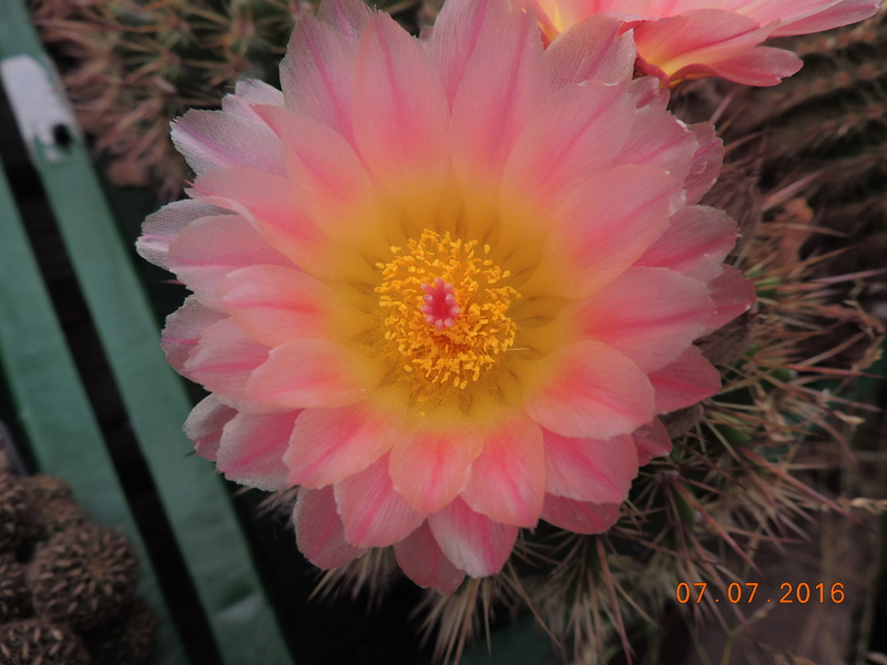 Cacti and Sukkulent in Köln, every day new flowers in the greenhouse Part 160 Bild_426