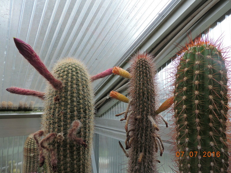 Cacti and Sukkulent in Köln, every day new flowers in the greenhouse Part 160 Bild_434