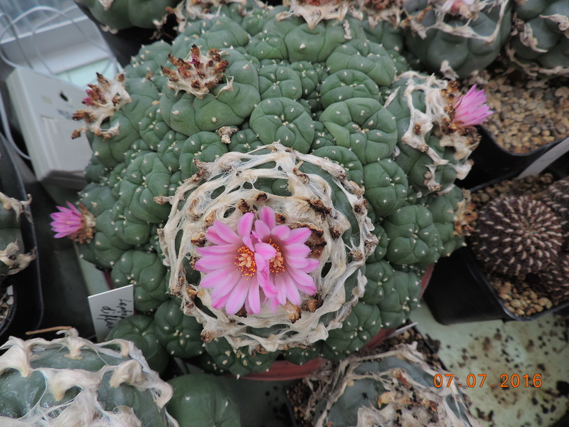Cacti and Sukkulent in Köln, every day new flowers in the greenhouse Part 160 Bild_435