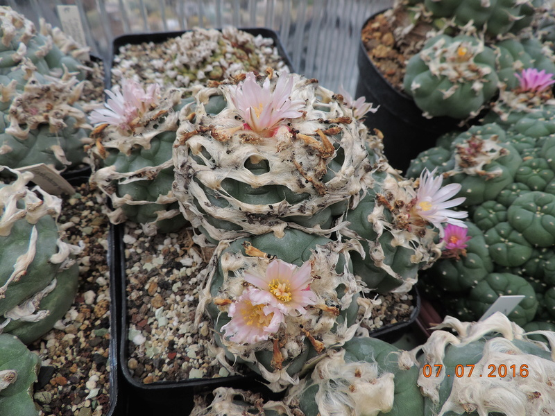 Cacti and Sukkulent in Köln, every day new flowers in the greenhouse Part 160 Bild_436