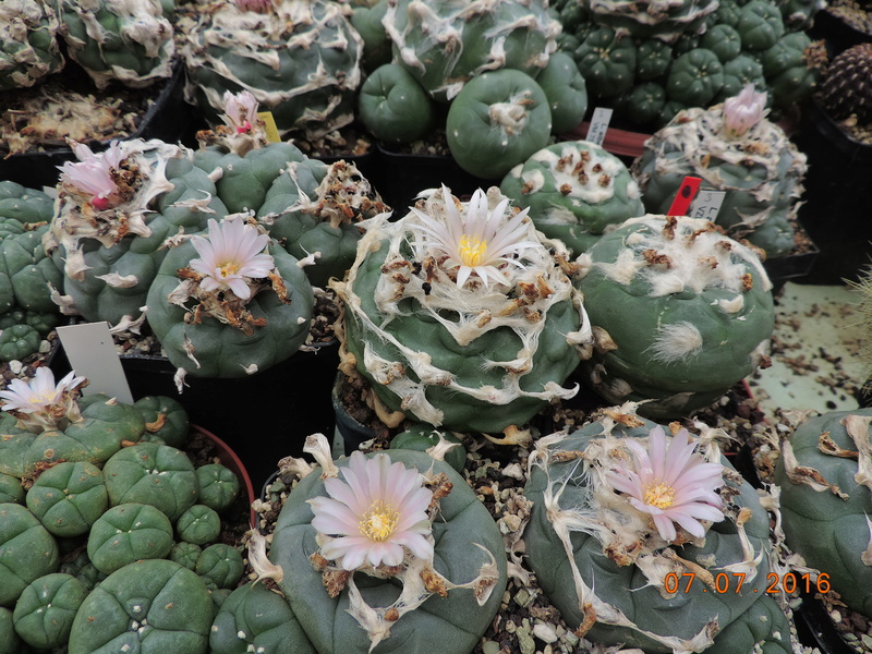 Cacti and Sukkulent in Köln, every day new flowers in the greenhouse Part 160 Bild_438