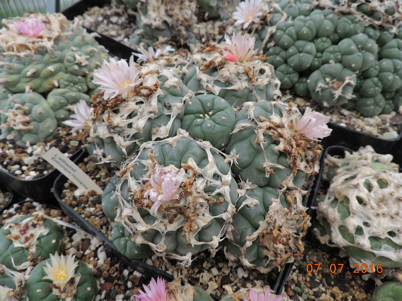 Cacti and Sukkulent in Köln, every day new flowers in the greenhouse Part 160 Bild_446