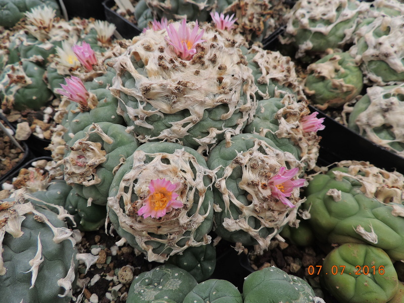 Cacti and Sukkulent in Köln, every day new flowers in the greenhouse Part 160 Bild_448