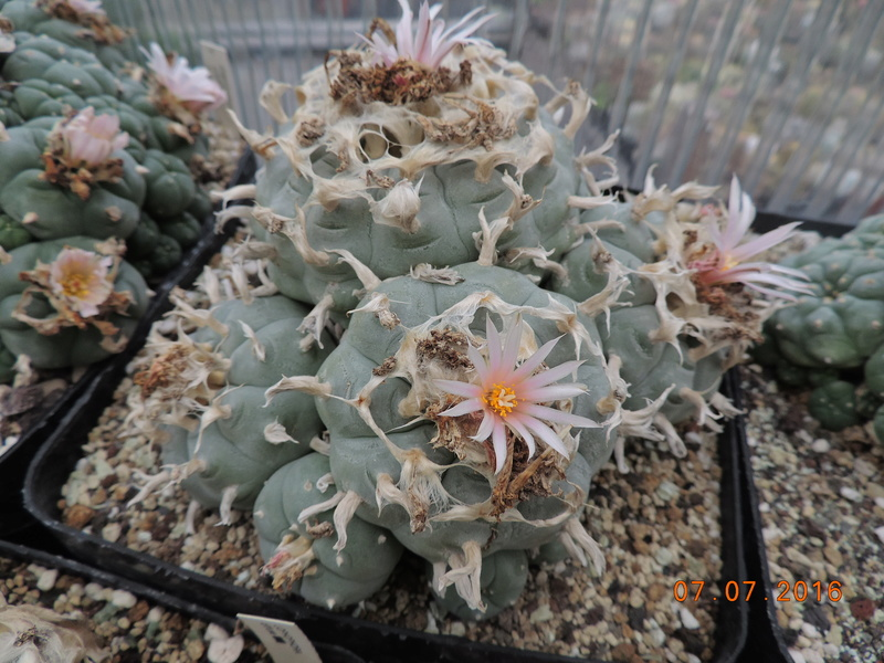 Cacti and Sukkulent in Köln, every day new flowers in the greenhouse Part 160 Bild_449