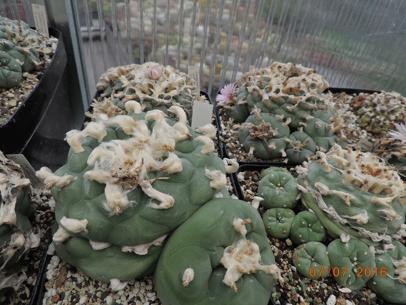 Cacti and Sukkulent in Köln, every day new flowers in the greenhouse Part 160 Bild_451
