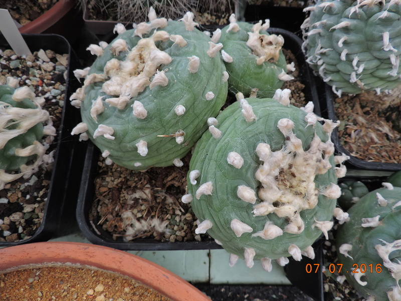 Cacti and Sukkulent in Köln, every day new flowers in the greenhouse Part 160 Bild_454