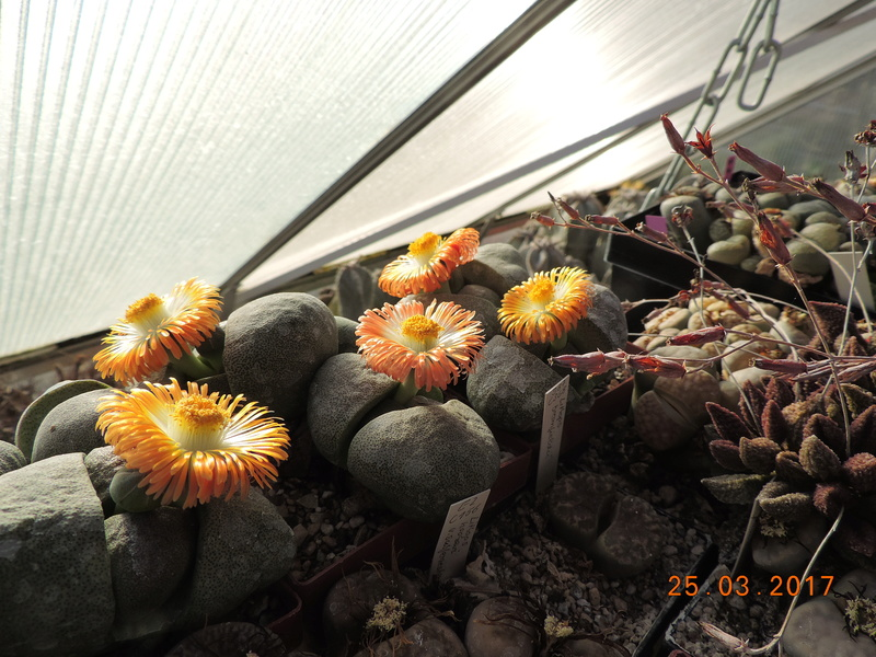 Cacti and Sukkulent in Köln, every day new flowers in the greenhouse Part 160 Bild_461