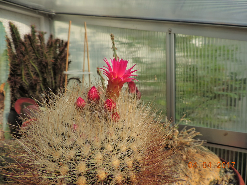 Cacti and Sukkulent in Köln, every day new flowers in the greenhouse Part 160 Bild_473