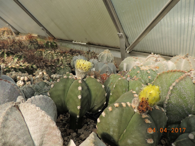 Cacti and Sukkulent in Köln, every day new flowers in the greenhouse Part 160 Bild_475