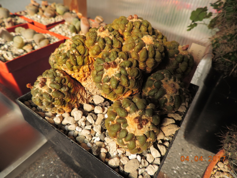 Cacti and Sukkulent in Köln, every day new flowers in the greenhouse Part 160 Bild_477