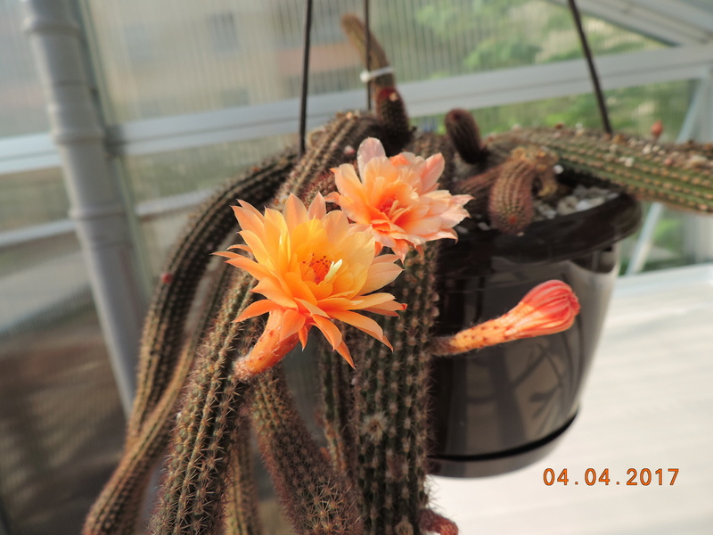Cacti and Sukkulent in Köln, every day new flowers in the greenhouse Part 160 Bild_478