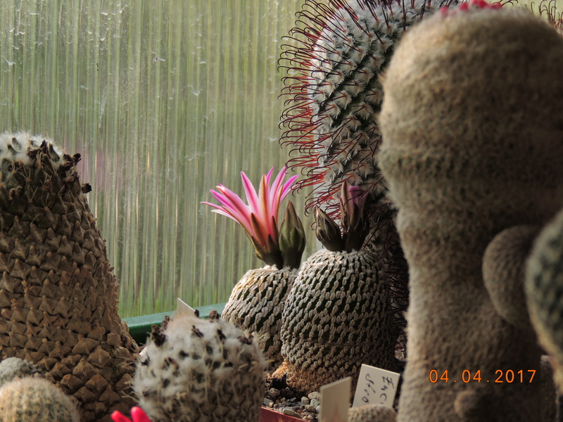 Cacti and Sukkulent in Köln, every day new flowers in the greenhouse Part 160 Bild_479