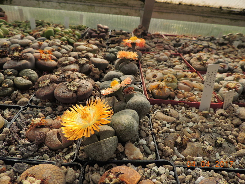 Cacti and Sukkulent in Köln, every day new flowers in the greenhouse Part 160 Bild_483