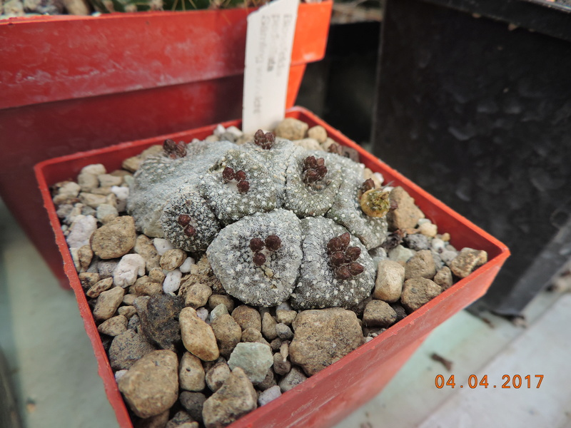 Cacti and Sukkulent in Köln, every day new flowers in the greenhouse Part 160 Bild_486