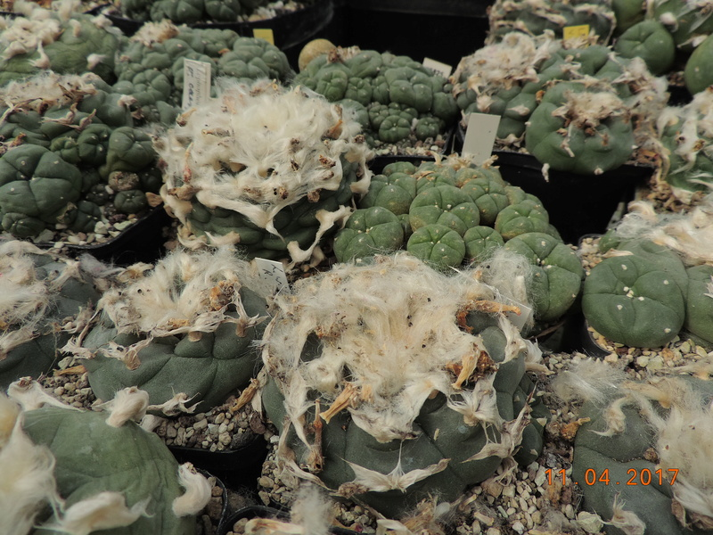 Cacti and Sukkulent in Köln, every day new flowers in the greenhouse Part 160 Bild_489