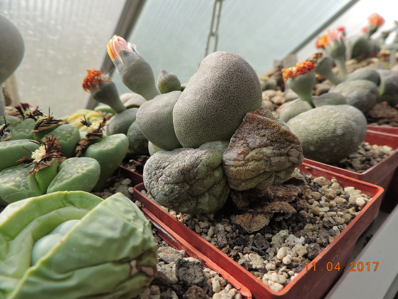Cacti and Sukkulent in Köln, every day new flowers in the greenhouse Part 160 Bild_495