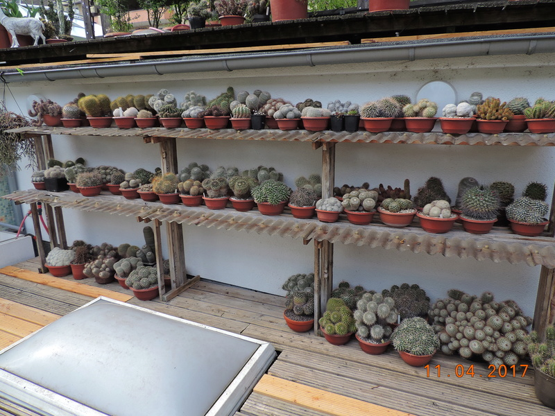 Cacti and Sukkulent in Köln, every day new flowers in the greenhouse Part 160 Bild_498