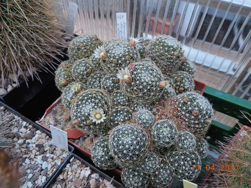 Cacti and Sukkulent in Köln, every day new flowers in the greenhouse Part 160 Bild_501