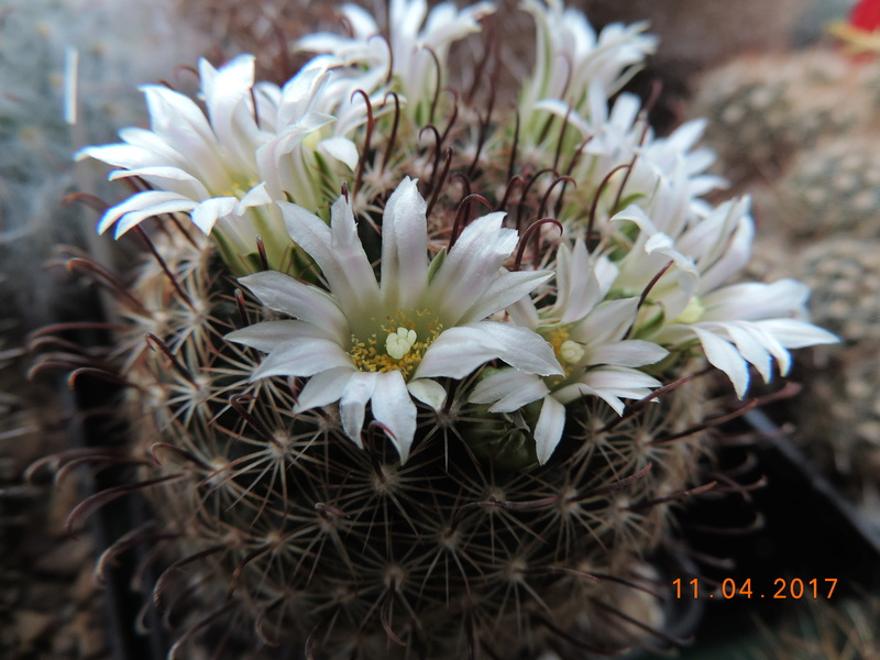 Cacti and Sukkulent in Köln, every day new flowers in the greenhouse Part 160 Bild_502