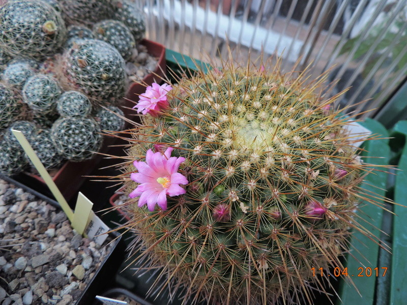 Cacti and Sukkulent in Köln, every day new flowers in the greenhouse Part 160 Bild_505