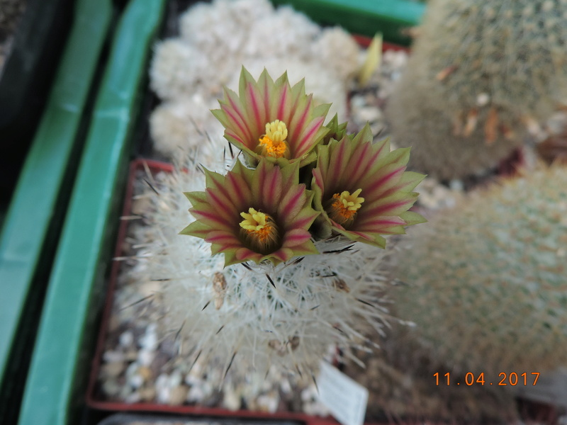 Cacti and Sukkulent in Köln, every day new flowers in the greenhouse Part 160 Bild_506
