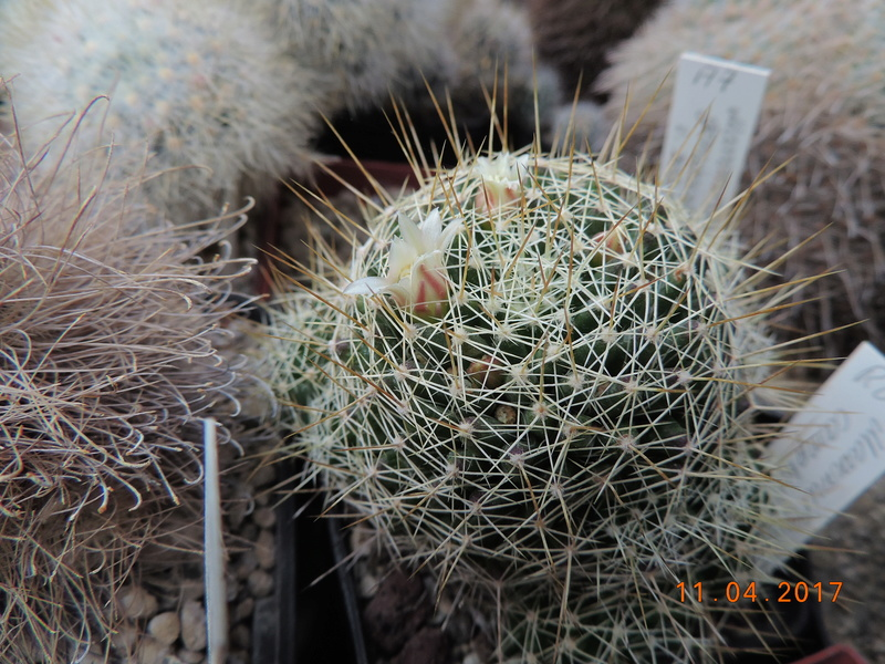 Cacti and Sukkulent in Köln, every day new flowers in the greenhouse Part 160 Bild_507