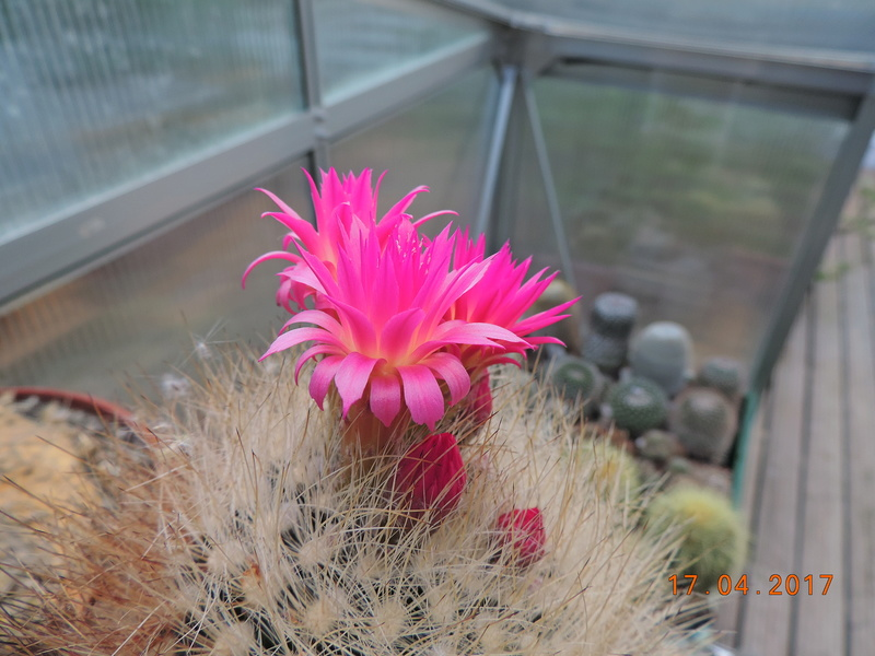 Cacti and Sukkulent in Köln, every day new flowers in the greenhouse Part 161 Bild_531