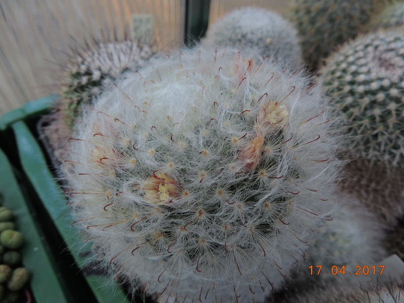 Cacti and Sukkulent in Köln, every day new flowers in the greenhouse Part 161 Bild_532