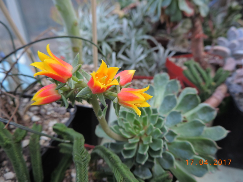 Cacti and Sukkulent in Köln, every day new flowers in the greenhouse Part 161 Bild_533