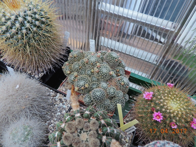 Cacti and Sukkulent in Köln, every day new flowers in the greenhouse Part 161 Bild_534